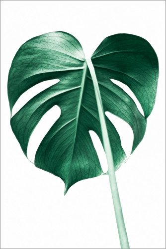 Poster Monstera solitaire
