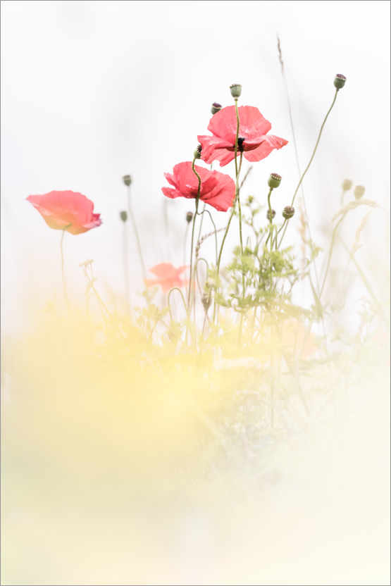 Poster Poppies in the field