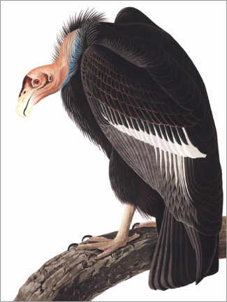 Poster  Condor de Californie - John James Audubon