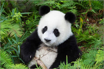Tableau sur toile  Gros panda - G&M Therin-Weise