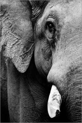 Poster Portrait of an Indian elephant