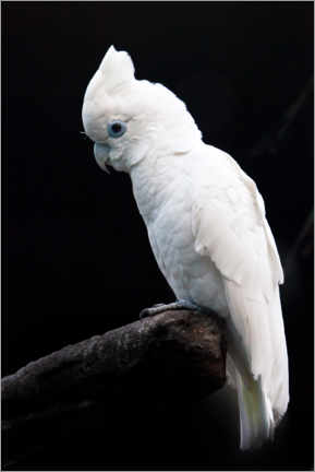 Poster  Beautiful white cockatoo - Mikhail Semenov