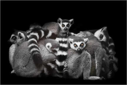 Poster Ring-tailed lemurs sleep in a bunch