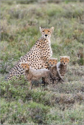 Poster  Cheetah mother with cubs - Jaynes Gallery