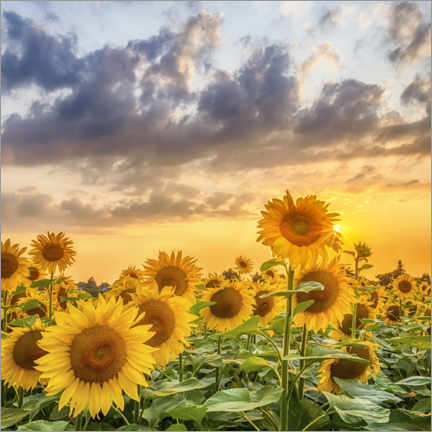 Poster Sunflowers in the evening