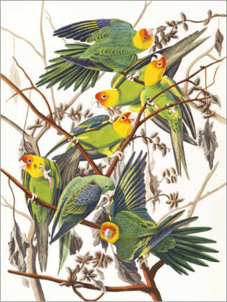 Sticker mural  Perruches ondulées - John James Audubon