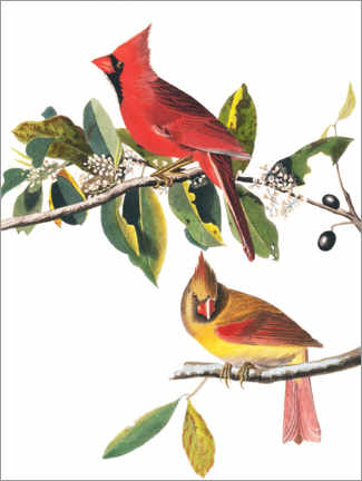 Poster Cardinaux rouges