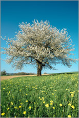 Tableau en plexi-alu  Blossoming cherry tree in spring on green field with blue sky - Peter Wey