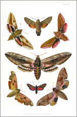 Tableau en plexi-alu  British moths