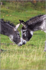 Sticker mural  Donkeys touching noses - Duncan Shaw
