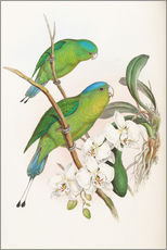 Sticker mural  Philippine Racket tailed Parrot - John Gould