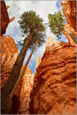 Sticker mural  Pin dans le parc national de Bryce Canyon, Utah, USA - Circumnavigation