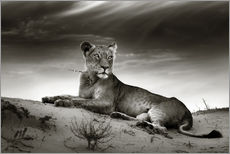 Sticker mural  Lioness resting on top of a sand dune - Johan Swanepoel