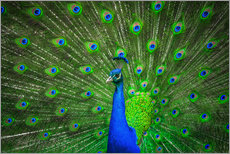 Tableau en plexi-alu  beautiful peacock with feathers