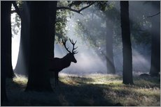 Tableau en plexi-alu  Stag in the morning light - Alex Saberi
