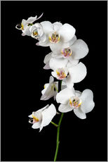 Sticker mural  White orchid on a black background