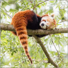 Sticker mural  Red Panda resting in a tree