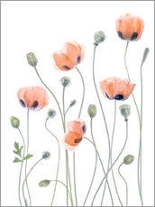 Mandy Disher - Coquelicots poétiques
