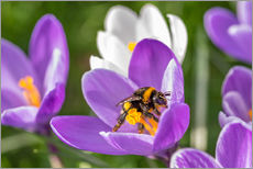 Tableau en plexi-alu  Spring flower crocus and bumble-bee - Remco Gielen