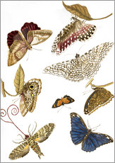 Tableau en plexi-alu  Moths and butterfiles - Maria Sibylla Merian