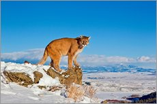Tableau en plexi-alu  Puma standing on rock in snow, Rocky Mountains - FLPA
