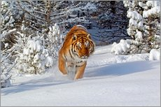Sticker mural Siberian Tiger walking in snow