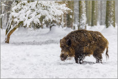 Sticker mural  Boar in the snow - Moqui, Daniela Beyer