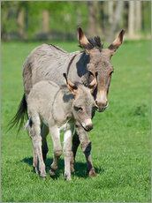 Tableau en plexi-alu  Donkey mum and her little baby