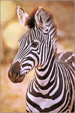 wiw - Young Zebra, South Africa