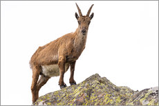 Sticker mural  Ibex perched on rock isolated on white background - Fabio Lamanna