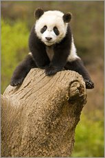 Tableau en plexi-alu  Baby Panda on a tree stump - Alice Garland