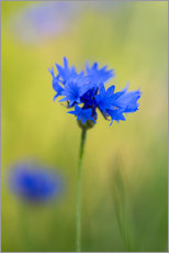 Tableau en plexi-alu  Blooming Cornflowers - Mark Scheper
