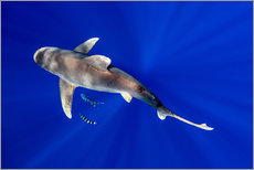 Tableau en plexi-alu  Oceanic Whitetip Shark with pilot fish around it - Cultura/Seb Oliver