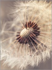 Tableau en plexi-alu  Dandelion closeup nature - Julia Delgado