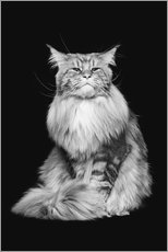 Poster Chat Maine Coon