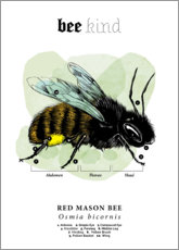 Poster  Anatomie d'une abeille osmie rousse (anglais) - Velozee