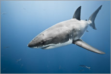 Poster  Grand requin blanc II - nitrogenic