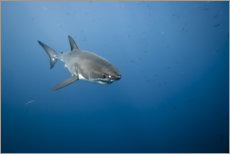 Poster  Grand requin blanc I - nitrogenic