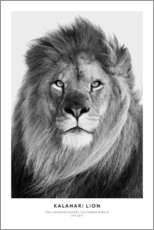 Poster  Lion du Kalahari - Art Couture