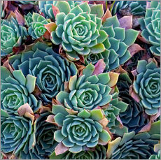 Sticker mural  Echeverias vues d'en haut - David Wall