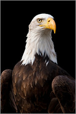 Sticker mural  Bald Eagle - Jan Schuler