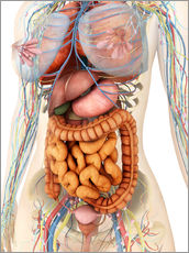 Sticker mural  Female body showing digestive and circulatory system - Stocktrek Images