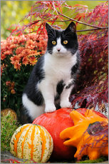 Tableau en plexi-alu  Tuxedo cat on colourful pumkins in a garden - Katho Menden