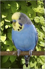 Tableau en plexi-alu  Budgie on branch - Greg Cuddiford