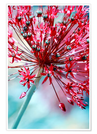 Poster  Allium rose - Atteloi