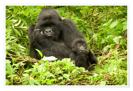 Joe & Mary Ann McDonald - Eastern Gorilla with baby between leaves