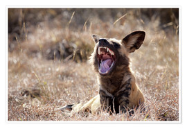Poster  Yawning African wild dog - Wendy Kaveney