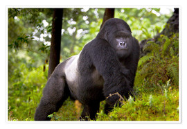 Poster  Mountain Gorilla