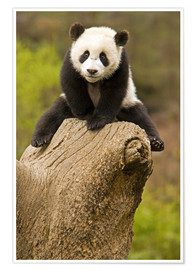 Poster  Baby Panda on a tree stump - Alice Garland