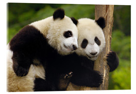 Verre acrylique  Two young pandas on a tree trunk - Pete Oxford